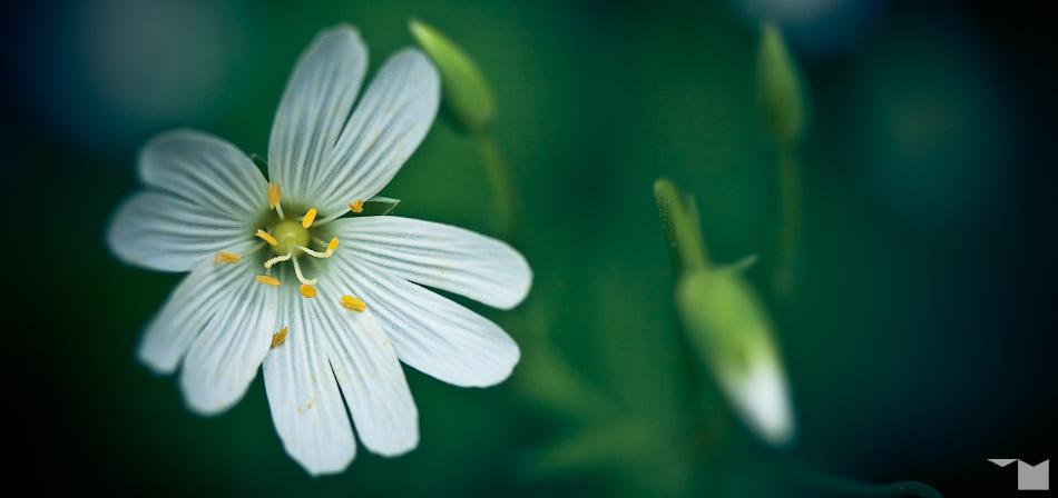 Grosse Sternmiere | Greater Stitchwort