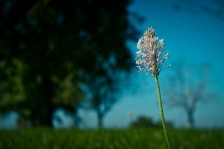 Heuschreckenperspektive I: Spitzwegerich | Grasshopper's-Eye View I: Ribwort Plantain