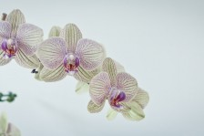 Orchidee | Orchid