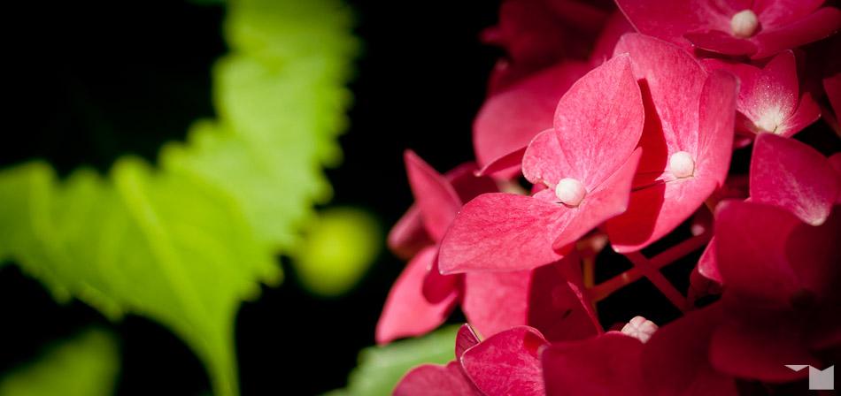 Hortensie | Hydrangea