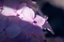 Hortensie II | Hydrangea II