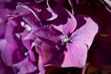 Hortensie III | Hydrangea III